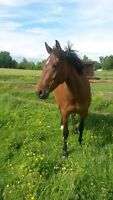 Well Bred Warmblood Cross Mare With Tons of Potential For Sale