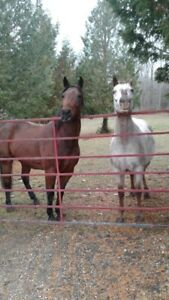 Appaloosa horses offered for adoption
