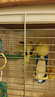 Canaries for just $25