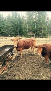Live Beef Cattle for Sale