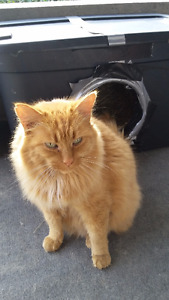 MISSING:  LONG HAIRED ORANGE CAT IN NIAGARA FALLS