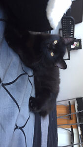 BELLA - 11 month kitten, energetic, affectionate, very playful