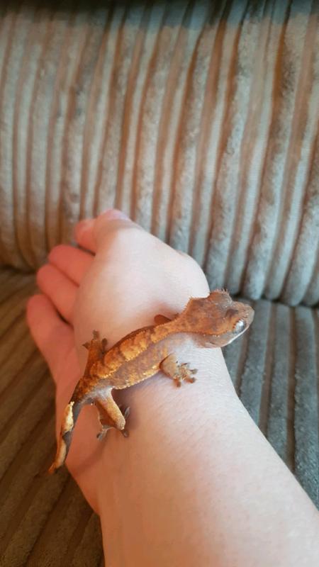 Crested Gecko Babies X5 | in Basildon, Essex | Gumtree
