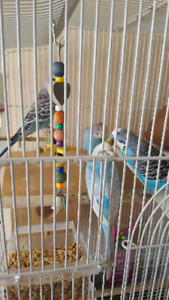 4 budgies and 3 babies with cage
