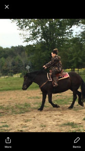 Canadian mare for sale