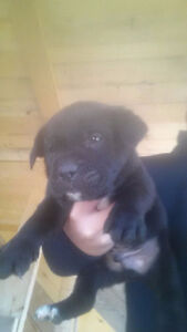 Black Lab/Cane Corso Cross Puppies for sale-MUST GO!!!!! London Ontario image 3