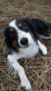 Border Collie Male Needing to be Rehomed Strathcona County Edmonton Area image 3