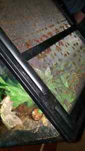 Male crested gecko and tank Cambridge Kitchener Area image 3