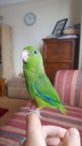 ❤️⭐❤️Parrotlet⭐Babies with Cage❤️⭐❤️