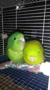 Baby lineolated parakeets (new price)