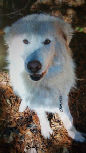 1 year old Maremma male to rehome