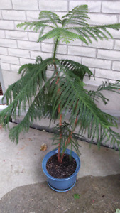 Indoor Outdoor Pine Tree House Plant Charlie Brown Xmas