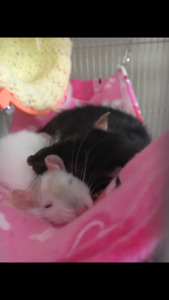 3 female ratsfor rehoming