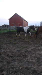 Clyde cross paint mare