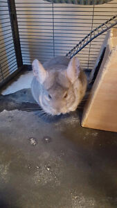 Chinchilla Looking for new loving home Edmonton Edmonton Area image 4