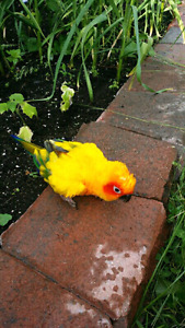 GEORGIOUS SUN CONURE WITH LARGE BEAUTIFUL CAGE TOYS and FOOD