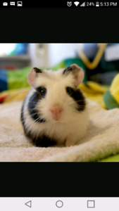 I am looking for a baby guinea pig that is black an white