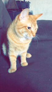 I have an orange male cat for re homing