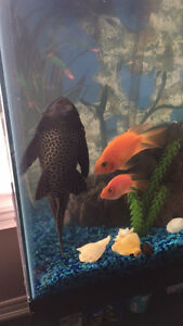 Big Pleco looking for new home
