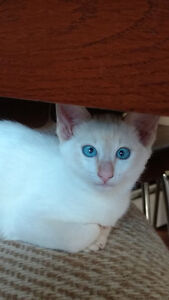 Chaton 3/4 Abyssin et 1/4 siamois
