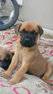 *****English Mastiff Puppies*****