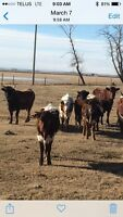 Longhorn roping cattle