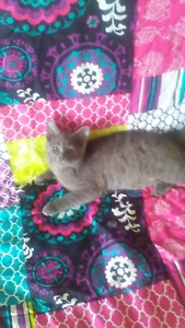 Four adorable grey kittens looking for forever home's