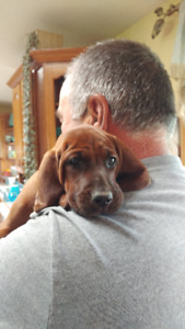 REDBONE COONHOUND PUPPIES Reg'd Purebred Microchipped