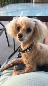 Amazing teacup poodle lookin for new home