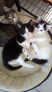 KITTENS TO GIVE AWAY OCTOBER 15th