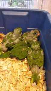 HOT DEAL GREEN QUAKER BABY BOOKING AVAILABLE CENTRAL PET STORE
