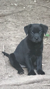 Precious .. Rescue Male  Black Lab x Terrier Puppies.