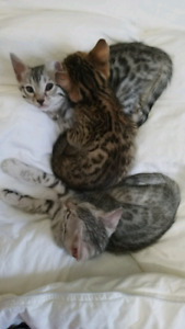 Stunning Bengal kittens ready for the Xmas Holidays