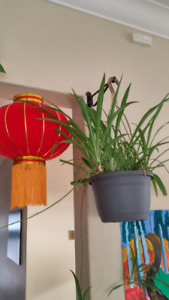 Beautiful thriving spider house plants
