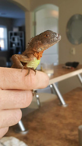 Baby red and green iguanas