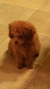 Chiot Caniche Toy  Pure Race CKC Pure Breed  Toy poodle