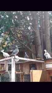 Homer Pigeons for sale Peterborough Peterborough Area image 1