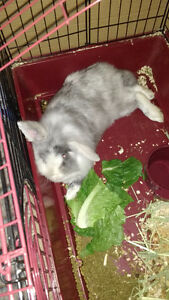 Lionhead Rabbit with Large cage and accessories