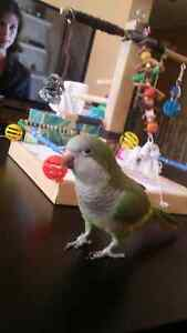 Quaker parrot with cage ,stand and many toys