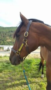 11 Year old, 16hh Anglo Arab Gelding
