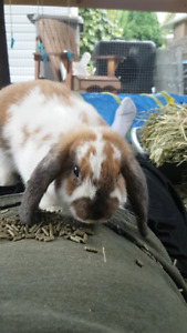 FREE 5 Month MALE NOT NEUTERED Purebred Holland Lop