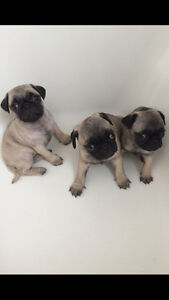 BEAUTY FEMALE FAWN PUG PUPPIES