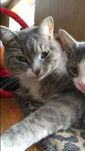 Grey and white cat missing in Hubley/Three Brooks area REWARD