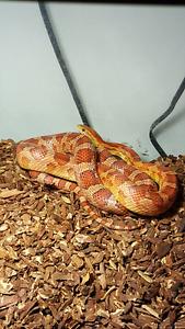 Corn snake tout equiper