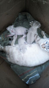 1 male marble snow Bengal kitten  left for sale