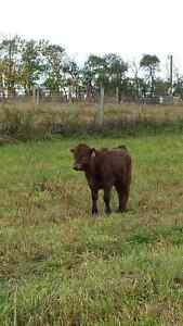 Dexter Heifers mixed 1/3 Angus