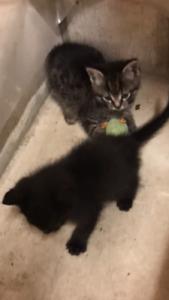 FREE KITTIES - 9 weeks old