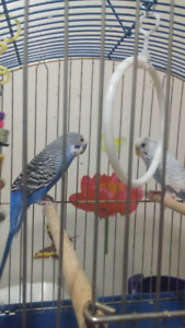 2 Young budgies with cage and everything