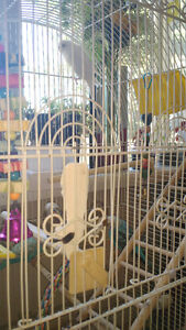 three beautiful budgies with large cage free