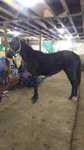 2 year old Warmblood cross filly